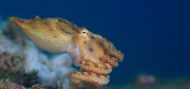 Blue-ringed -octopus