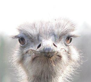 ostrich-bird
