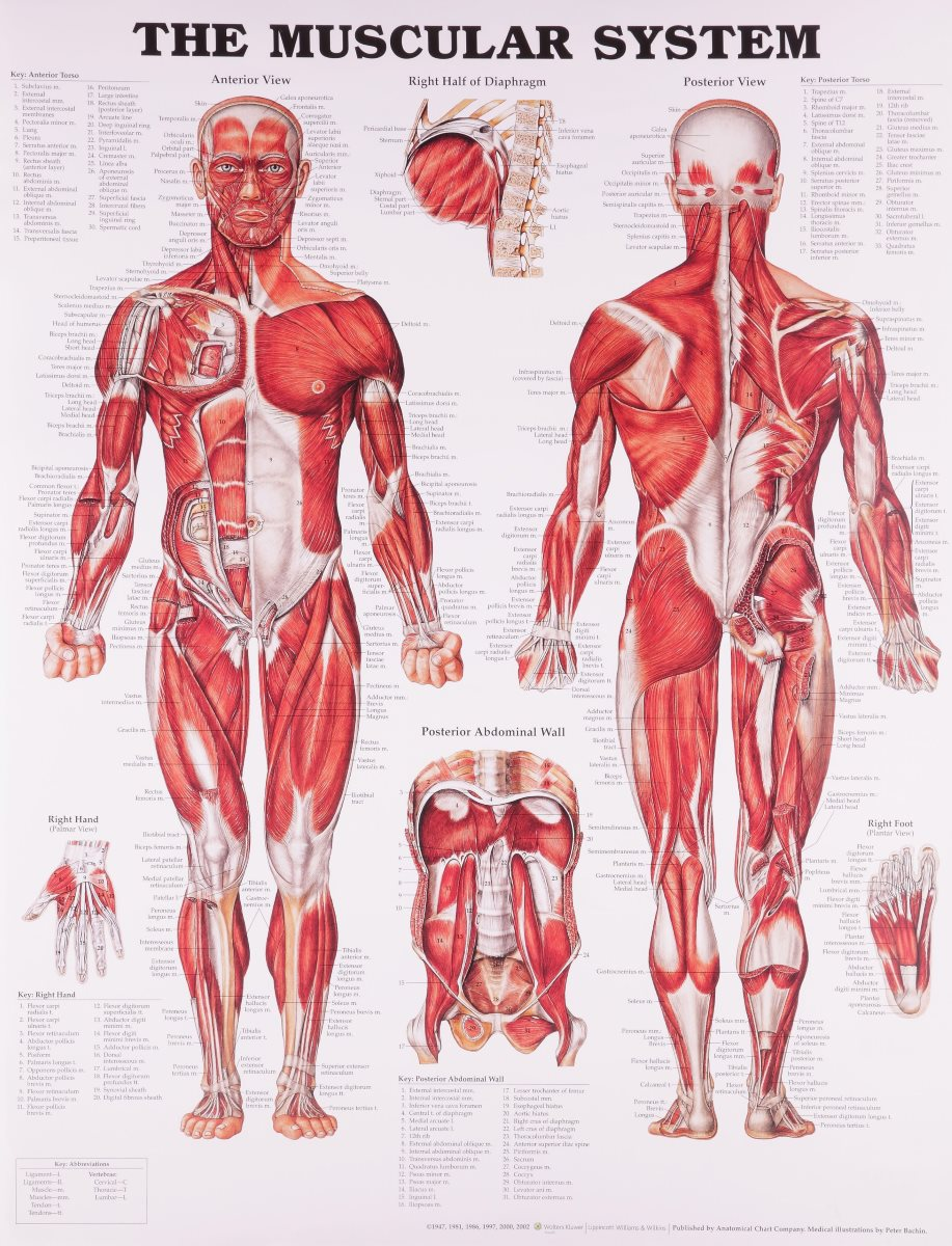 how many muscles are there in the human body? - info curiosity, Muscles